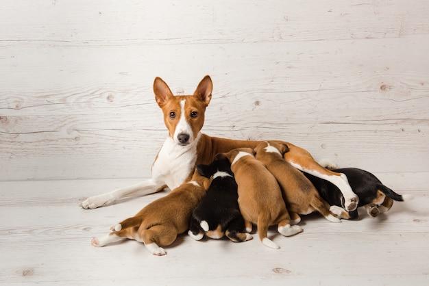 Mãe basenji alimentar seus filhotes