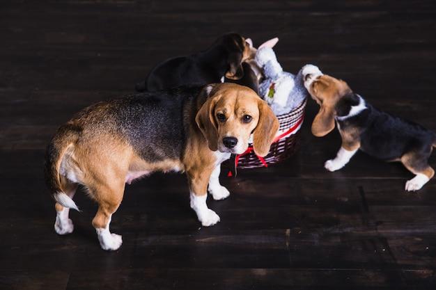 Mãe beagle com filhotes no chão