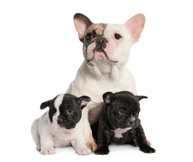 Mãe bulldog francês e seus filhotes com 1 ano e 8 semanas de idade. retrato de cachorro isolado
