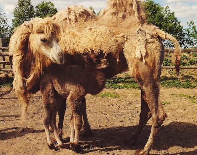 Mãe camelo com bebê, ao ar livre, horário de verão. vida familiar.