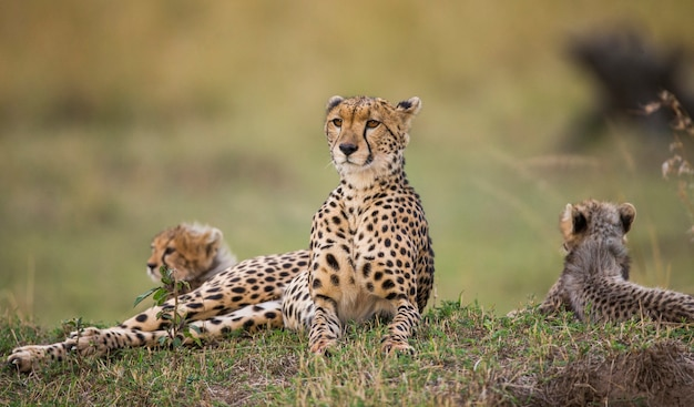 Mãe chita e seus filhotes na savana.
