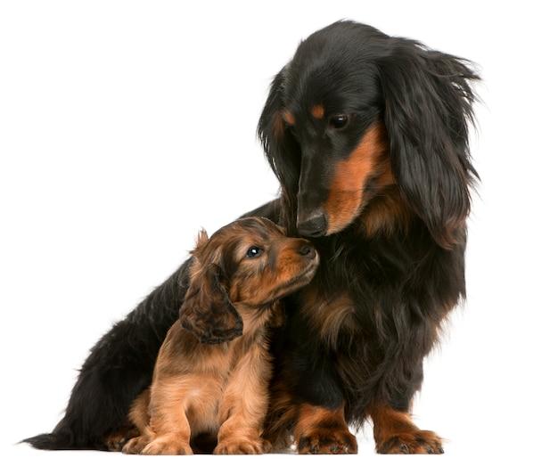 Mãe dachshund (4 anos) e seu filhote (5 semanas)