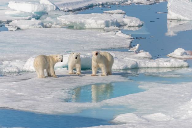 Mãe de urso polar selvagem (ursus maritimus) e dois filhotes jovens no bloco de gelo, ao norte de svalbard, no ártico da noruega