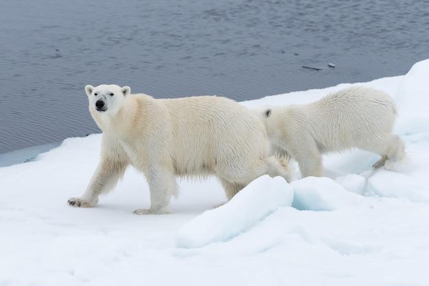 Mãe de urso polar selvagem (ursus maritimus) e filhote no gelo