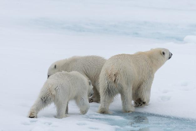 Mãe de urso polar selvagem (ursus maritimus) e filhotes gêmeos no gelo, ao norte de svalbard, noruega no ártico
