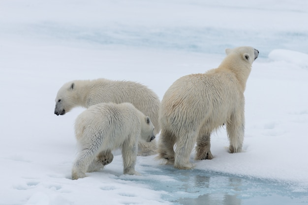 Mãe de urso polar selvagem (ursus maritimus) e filhotes gêmeos no gelo