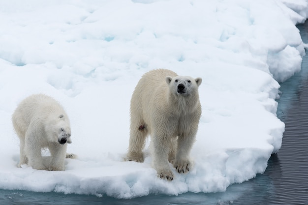 Mãe do urso polar (ursus maritimus) e filhote no gelo