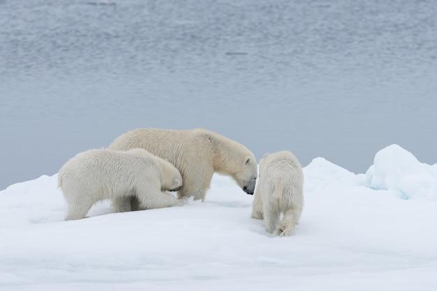 Mãe do urso polar (ursus maritimus) e filhotes gêmeos no gelo
