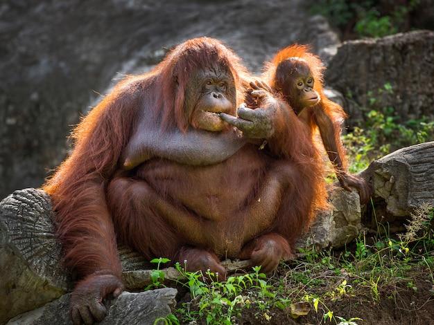 Mãe e bebê do orangotango que relaxam no ambiente natural do jardim zoológico.