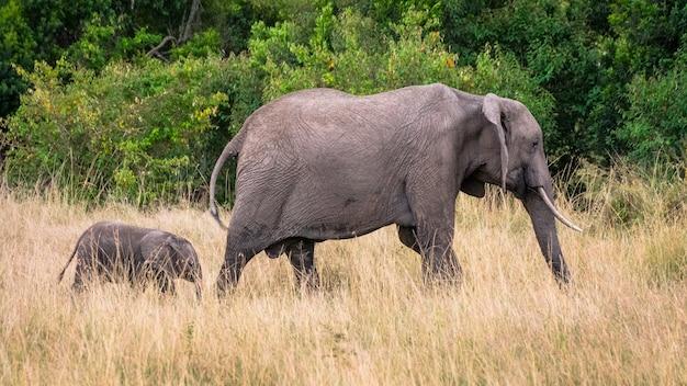 Mãe e bebê elefante na savana africana, em masai mara, kenia