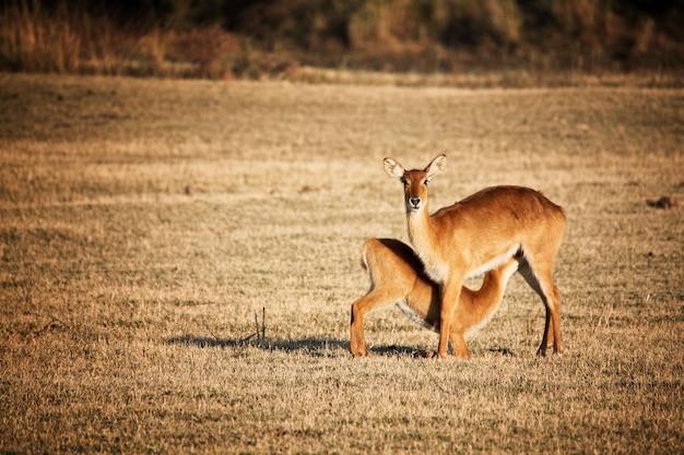 Mãe e bebê impala em áfrica