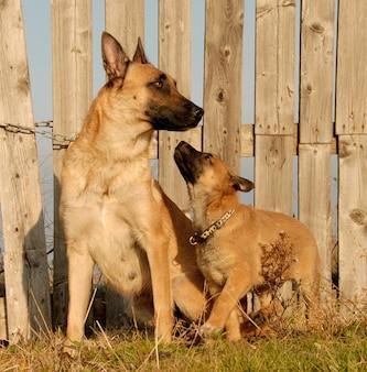 Mãe e cachorros