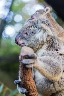 Mãe e filho coala na árvore