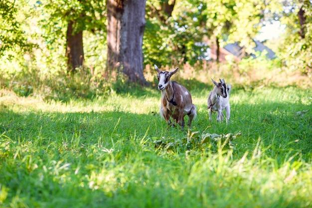 Mãe e filho de cabras em um gramado verde ao pôr do sol ou nascer do sol