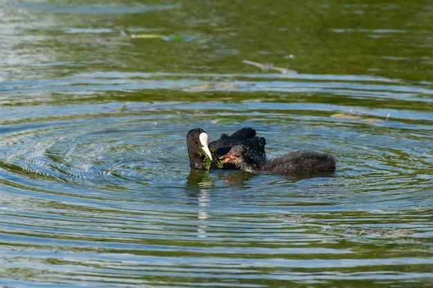 Mãe eurasian coot fulica atra alimentando seu filhote.