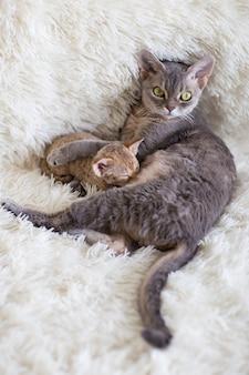 Mãe gato devonrex alimenta o gatinho com leite
