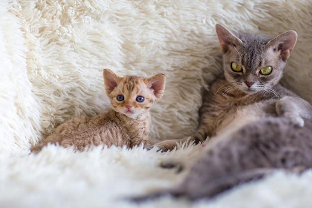 Mãe gato devonrex protege seu gatinho