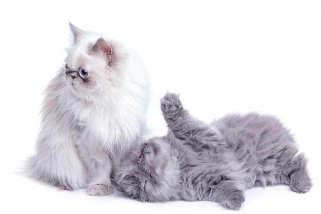 Mãe gato e seu lindo gatinho