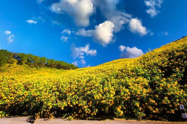 Mae hong son tree marigold maxican sunflowerlandscape flores amarelas com fundo azul do céu