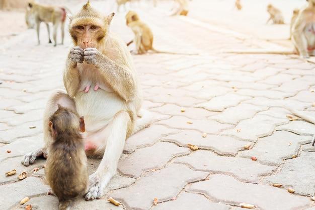 Mãe macaco está comendo nozes