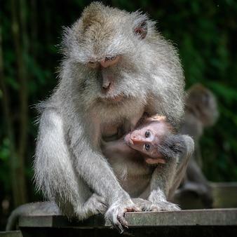 Mãe macaco rhesus e seu filho
