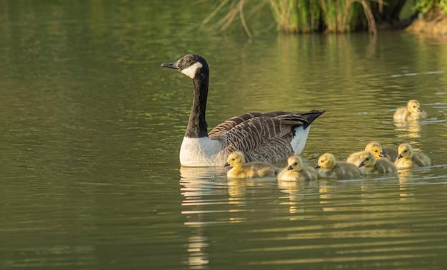 Mãe pato nadando com seus adoráveis patinhos no lago