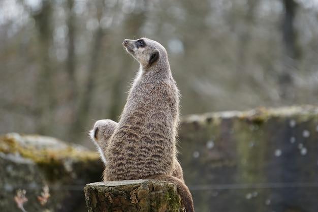 Mãe suricata cinza com seu filho sentado no tronco na natureza