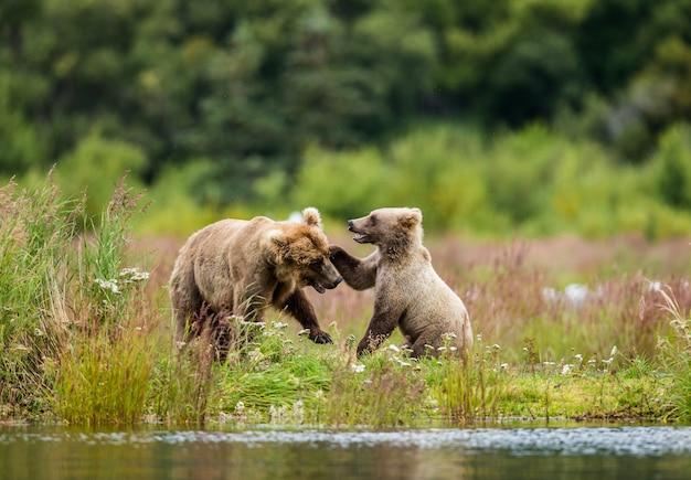 Mãe urso pardo com um filhote brincando na margem do lago