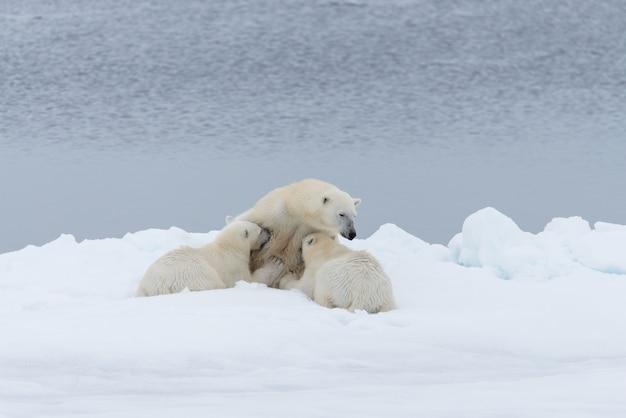 Mãe urso polar alimentando seus filhotes no gelo
