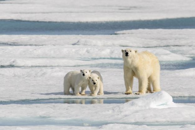 Mãe urso polar (ursus maritimus) e filhotes gêmeos no gelo, ao norte de svalbard ártico da noruega