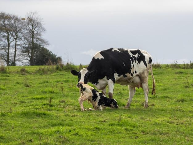 Mãe vaca ajuda a limpar bezerro recém-nascido no campo