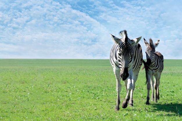 Mãe zebra com seu bebê na pastagem.