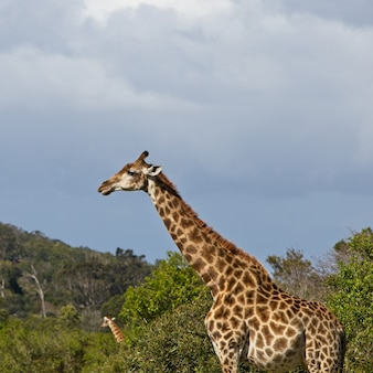 Magnífica girafa em pé entre as árvores com uma bela colina ao fundo