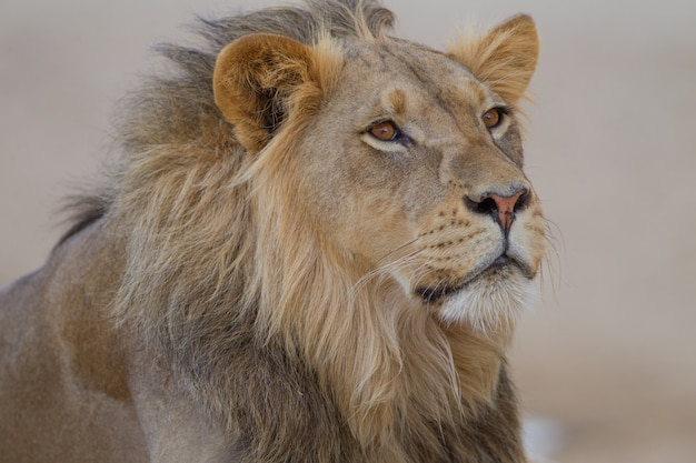 Magnífico leão no meio do deserto