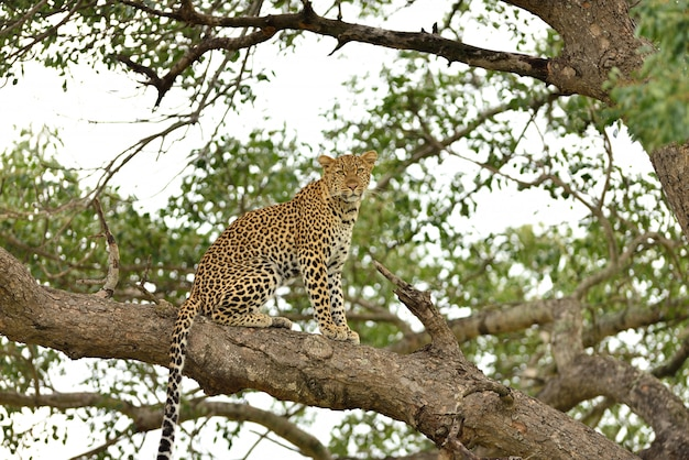 Magnífico leopardo africano em um galho de uma árvore