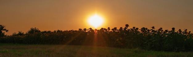 Magnífico pôr do sol sobre o campo de girassol dourado no campo paisagem de verão vistas panorâmicas