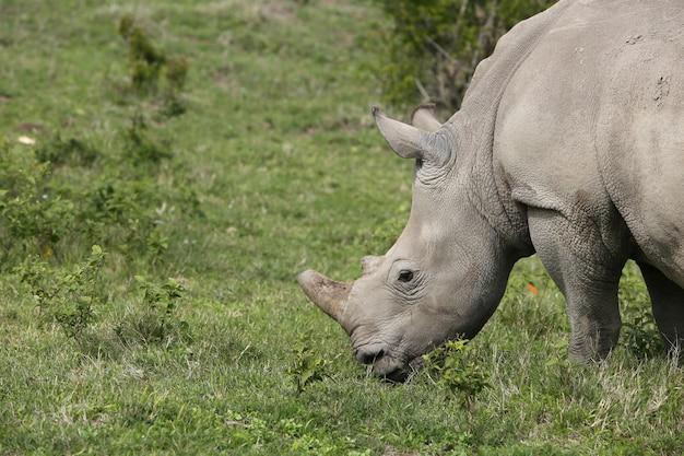 Magnífico rinoceronte pastando nos campos cobertos de grama da floresta