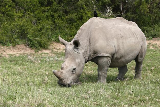 Magnífico rinoceronte pastando nos campos cobertos de grama na floresta