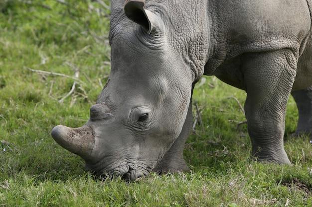 Magnífico rinoceronte pastando nos campos cobertos de grama na floresta Foto gratuita