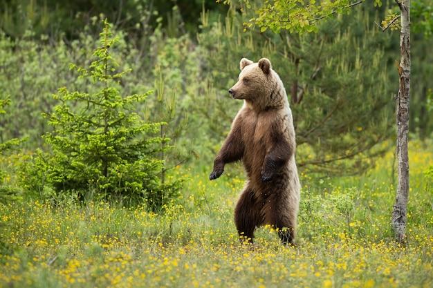 Magnífico urso-pardo em pé ereto na floresta no verão.