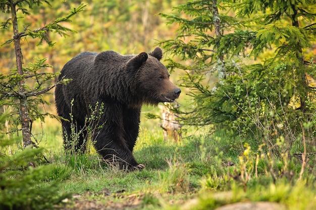 Magnífico urso pardo, ursus arctos, macho indo entre árvores no prado. majestosa vida selvagem animal na primavera de baixo ângulo. mamífero andando na natureza ao nascer do sol.