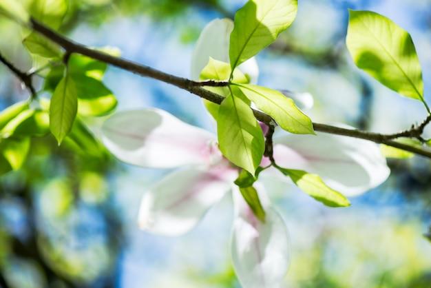 Magnólia com flores desabrochando