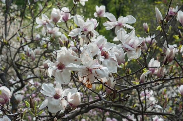 Magnólia desalinhada, flor castigada pelo tempo