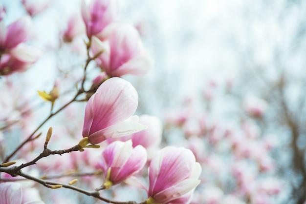 Magnólia florescendo árvore no galho.