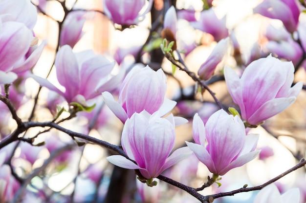 Magnólia florescendo