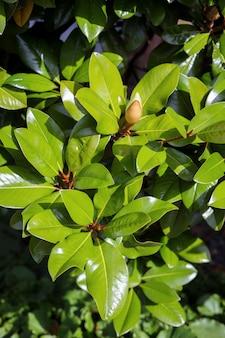 Magnolia (magnolia grandiflora) começando a florescer em east grinstead