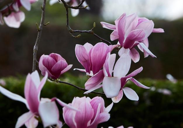 Magnólia rosa e flores brancas. fechar-se. fundo escuro desfocado