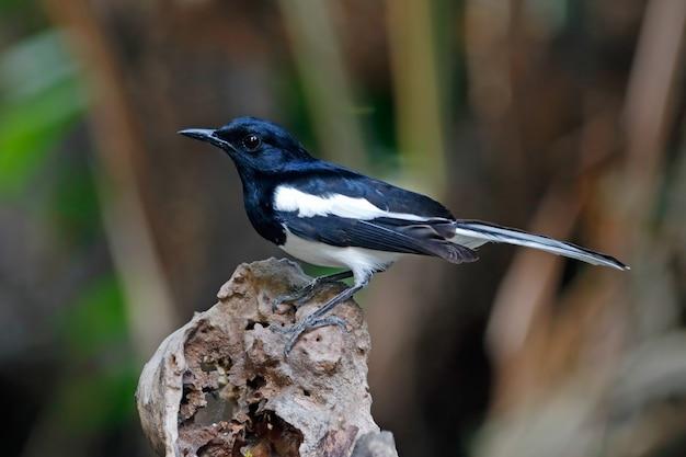Magpie oriental robin copsychus saularis belos machos pássaros da tailândia empoleirando-se na árvore