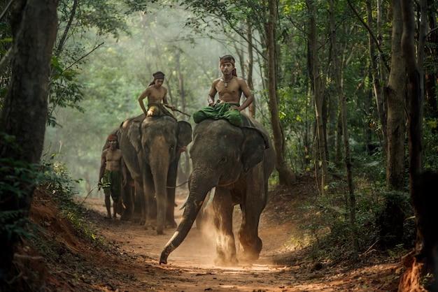 Mahout na aldeia de chang, província de surin, tailândia.