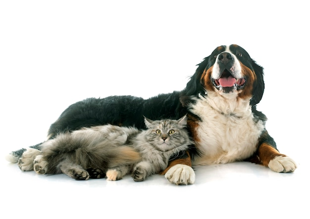 Maine coon cat e bernese mountain dog